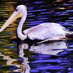 """Pink Backed Pelican 2"" by johncorney"