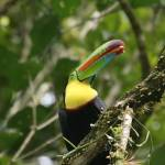"""Keel-Billed Toucan"" by Marajo"