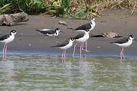 Black-Necked Stilt Birds