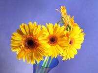 Yellow Gerbera Daisies Choir