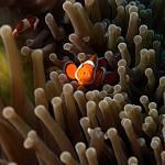 """Nemo"" by Fish_Photo"