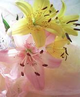 lilies and tissue light filled pink and yellow