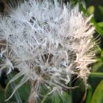 """Dandelion Gone to Seed"" by Whittier"