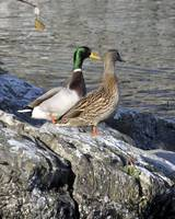 Meet the Mallards