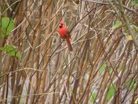 northern cardinal in reeds