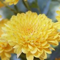 Yellow Mum Art Prints & Posters by Marianne Fitzgerald
