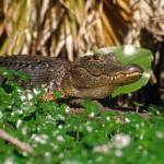 """Wild Alligator Animal"" by kphotos"