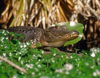 Wild Alligator Animal