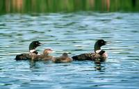 Loon Family Portrait