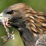 """Golden Eagle Eating Quail"" by jasonscottmeans"