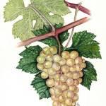 """Vitis vinifera"" by kirke"