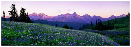 Panorama of wildflowers before the Tatoosh Range