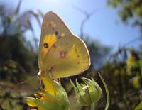 Yellowish Green Butterfly