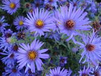 Blue/purple flowers