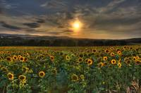 The Big Country - Sunflower Sunset