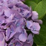 """purple hydrangea"" by JSphotography"