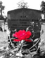 Cemetery rose with color emphasis