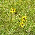 """""""wild daisy"""" by Katielongfield"""
