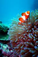 Clown Anemonfish - Nemo!