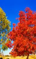 Autumn Colours At Cowra 06 -NSW