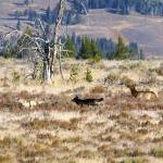 """""""Elk Chasing Wolves"""" by the-hole-picture"""