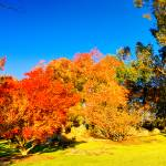 """Autumn Colours At Cowra 08 -NSW"" by gthomas68"