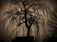 Weeping Willow in Palmer Cemetery