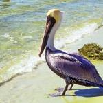 """Brown Pelican Bird on Beach"" by kphotos"