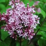 """""""Lilac"""" by CandidlyAnn"""