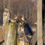 """Minnesota Birds #3"" by Katielongfield"