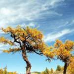 """Naiman Nuur Yellow Tree"" by Javi"