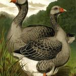 """Toulouse Geese"" by calliope"