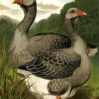 Toulouse Geese Art Prints & Posters by Simon Archer