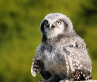 Northern Hawk Owl Chick 4