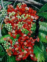 POINCIANA,    FLAMBOYANT