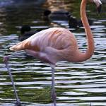 """Flamingo #1"" by johncorney"