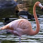 """Flamingo #2"" by johncorney"