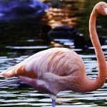 """Flamingo #4"" by johncorney"