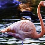 """Flamingo #4"" by johncorney"