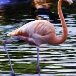 """Flamingo #3"" by johncorney"