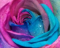 Rose Series 7 - Blue & Pink Spiral