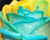Rose Series 5 - Blue,Yellow,Green