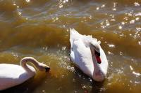 couple of swans at Sikes Lake