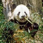 """Giant Panda Eats Bamboo"" by kphotos"