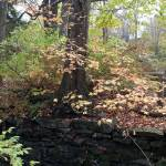 """""""Tree above stone wall"""" by Moments2Savor"""