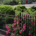"""Rose bush growing through fence"" by Moments2Savor"