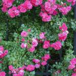 """""""Rose bushes"""" by Moments2Savor"""