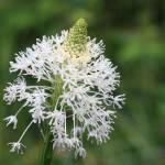 """Bear Grass Bloom"" by OutsideShooter"