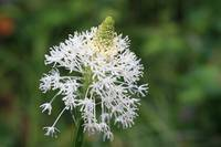 Bear Grass Bloom
