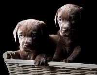 Chocolate Labrador Puppies in a Basket